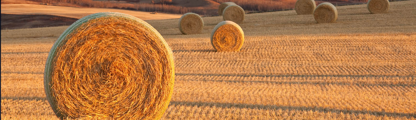 Pasture of Hay Bales